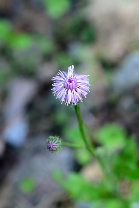 紫色的小野花