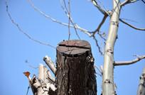 被砍掉枝干的梧桐树