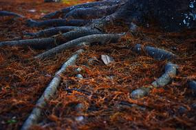 红色水杉叶及树根延伸细节摄影图
