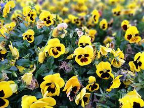 黄色三色堇花