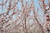 蓝天背景下的樱花花枝