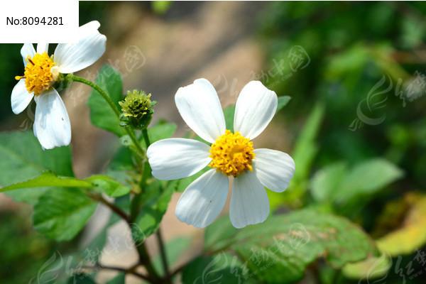 小小的野菊花图片