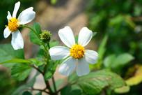 小小的野菊花