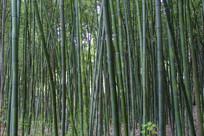 翠绿茂盛竹林