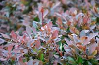 绿化带里的紫叶植被