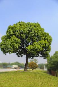 绿色桂花树
