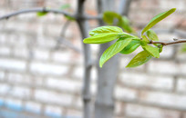 春天柿子树发芽