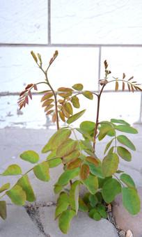 春天新生的槐树苗