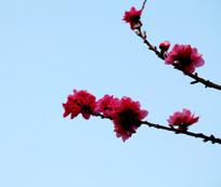 蓝天背景下盛开的桃花