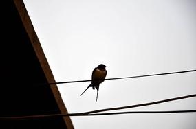 电线上燕子