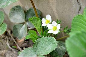 白色的草莓花