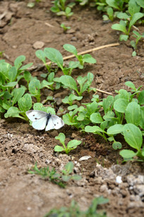 菜地里的菜粉蝴蝶