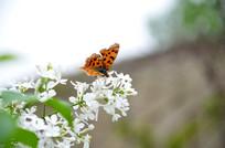 采花蜜的蝴蝶