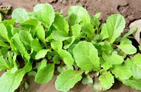 春天绿油油的小白菜