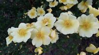 竞相开放的黄色小花