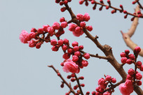 蓝天背景的桃花花苞花枝