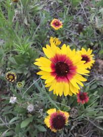 盛开的黄色夹红色小花