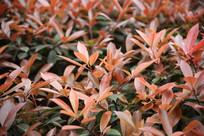 红色的树叶子