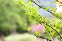黄绿色新树芽