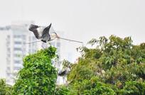 叼着树枝的鹭鸟
