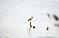 一只停在木桩上的小鹭鸟