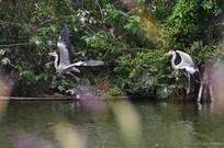 追逐嬉戏的鹭鸟