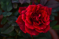 红月季花朵特写图片