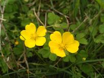 路边黄色小花