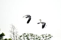空中飞向的鹭鸟