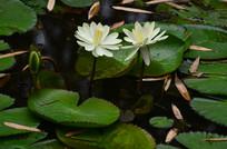 莲花风景图片