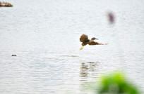 湖里飞翔的鹭鸟