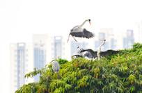 树顶上的鹭鸟