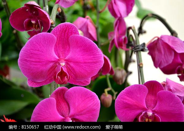 绽放的紫色蝴蝶兰图片