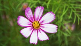 紫色格桑花