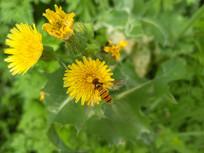 采花的蜜蜂
