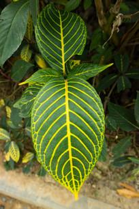 金脉爵床的叶子