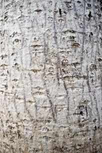 木棉树纹理