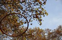 梧桐树下的篮球框