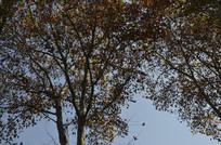 梧桐树与蓝天