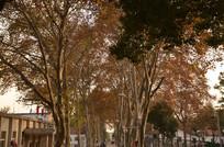 梧桐树之路
