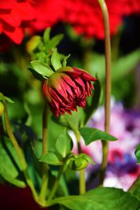 一朵待放的红色大丽菊