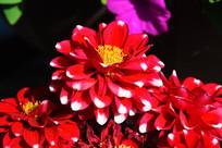 一朵绽放的红色白花尖大丽菊