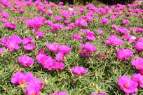 玫红色鲜花绿叶丛