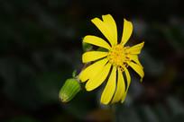 美丽的小菊花