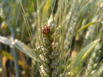 小麦上的昆虫