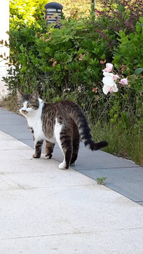 院子里散步的小花猫