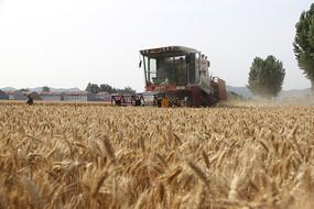 丰收的麦田里的收割机