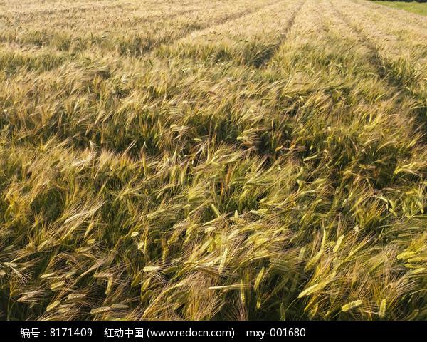 金黄大麦田图片