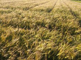金黄大麦田