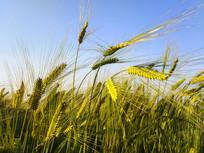 蓝天大麦穗